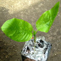 Live Kratom Plants, Trees, Cuttings, Clones. Grow Your Own Kratom. Rifat, Malaysian.