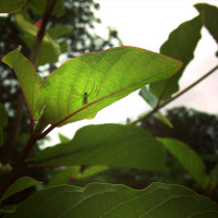 Live Kratom Plants, Trees, Cuttings, Clones. Grow Your Own. Rifat, Malaysian.