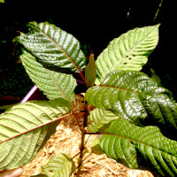 red vein thai kratom plants for sale
