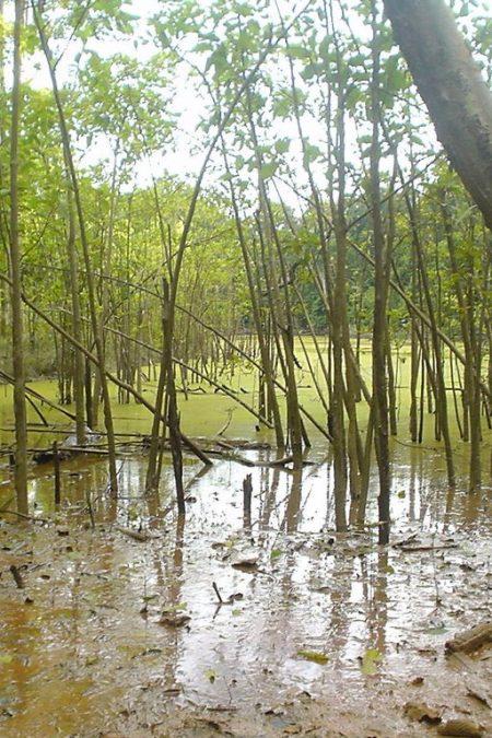 swamp kratom