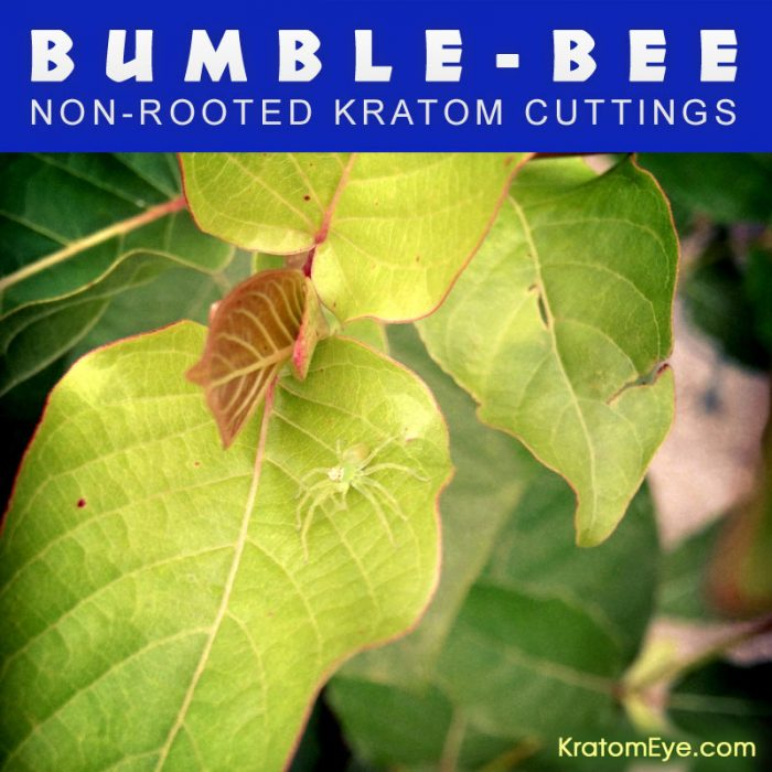Live Kratom Cuttings - Bumbe Bee Vietnam Strain