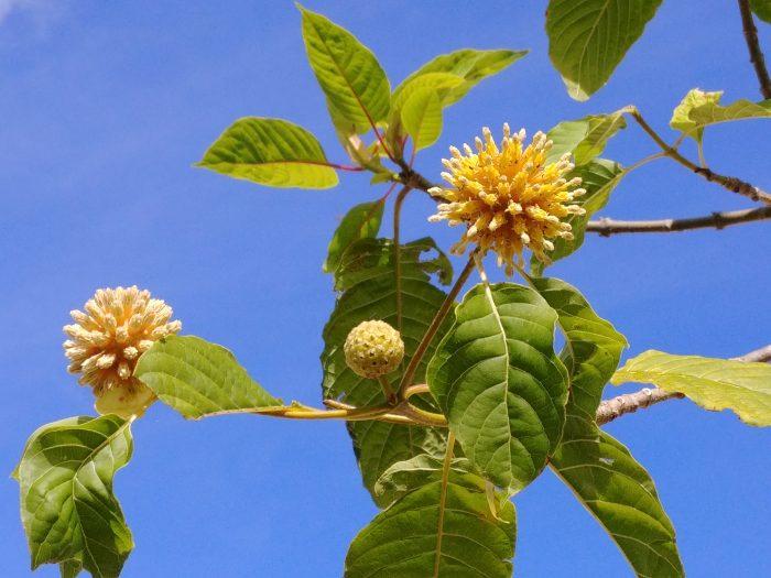 Grow Your Own Kratom Plants