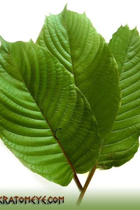 Grow your own Kratom Trees - Maeng Da, Horn, Thai...