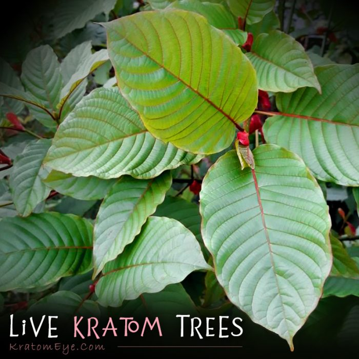Red, Green, White Vein Live Kratom Trees, Plants, Clones, Cuttings