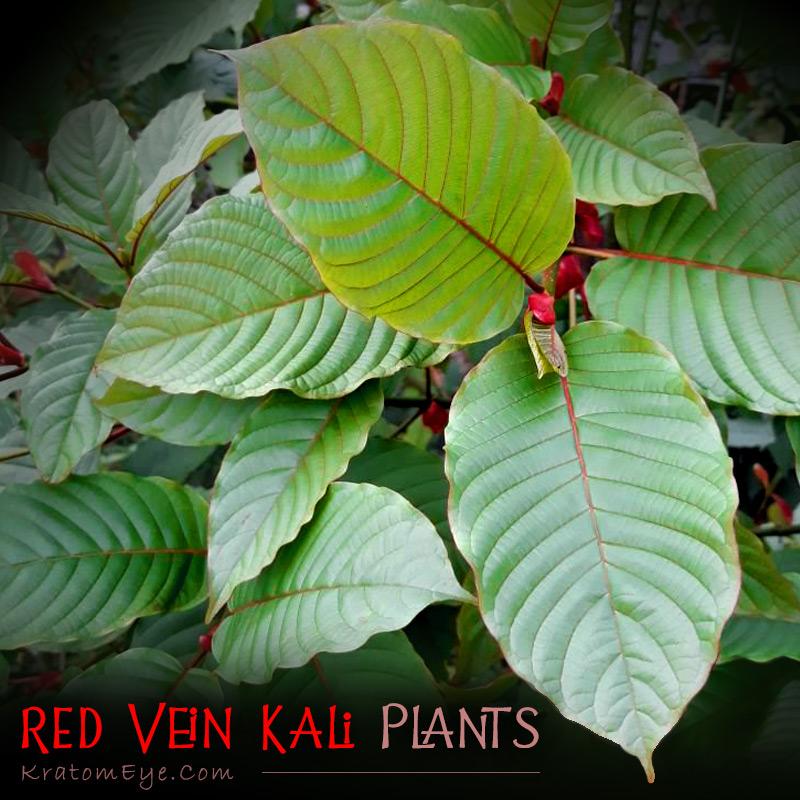 Red Vein Kalimantan Live Kratom Trees, Plants, Clones, Cuttings