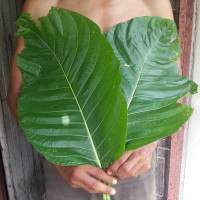 elephant kratom white vein thai large leaf