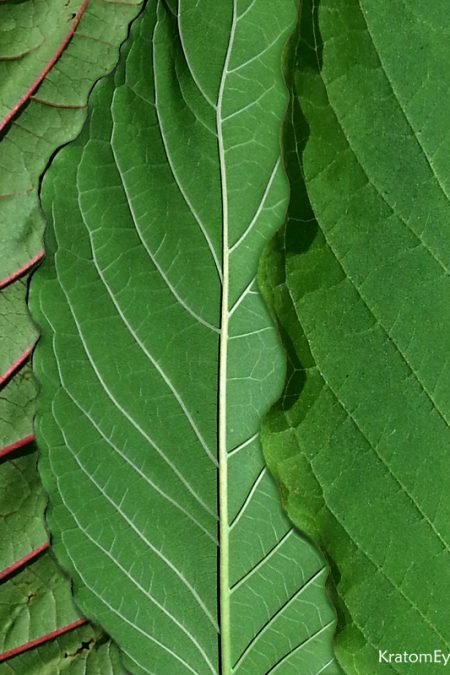 Kratom Vein Types: Red, Green, White, Yellow...