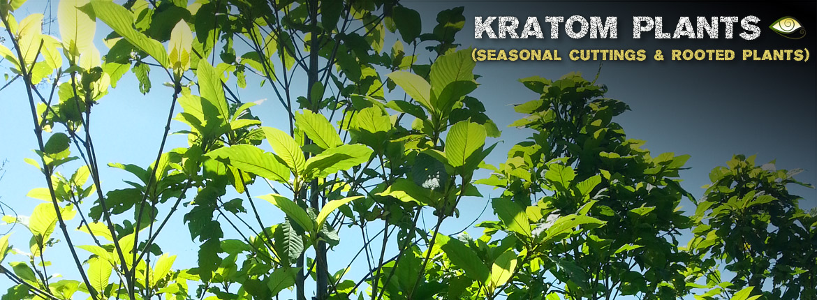 Live Kratom Trees, Cuttings, Clones & Rooted Plants for Sale - Grow Your Own