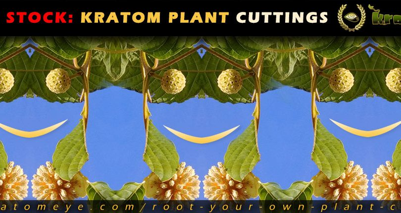 Kratom Live Plant Cuttings Back In Stock