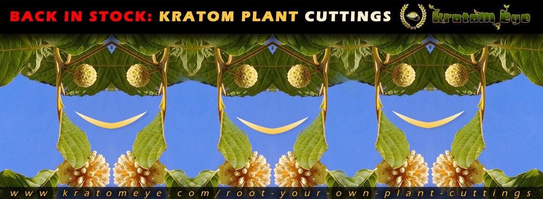Kratom Live Plant Cuttings Back In Stock