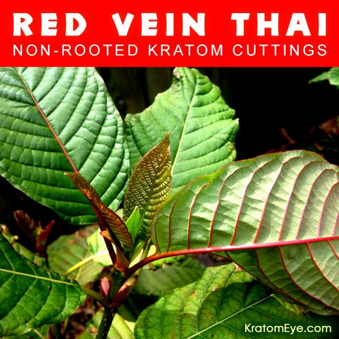 Live Kratom Cuttings - Red Vein Thai Strain