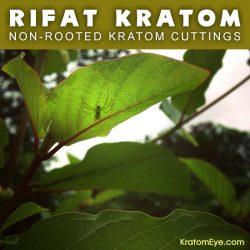 Live Kratom Cuttings - Rifat Thai Strain