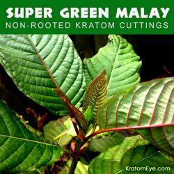 Live Kratom Cuttings - Super Green Malay Strain