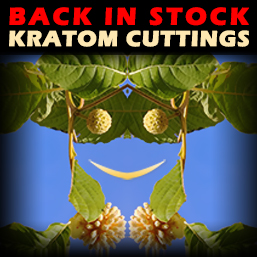 Kratom Tree Cuttings for Sale