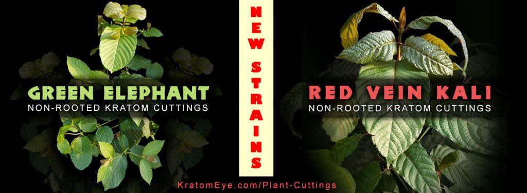 Green Elephant & Red Vein Kalimantan Strains - Live Kratom Rooted Plants