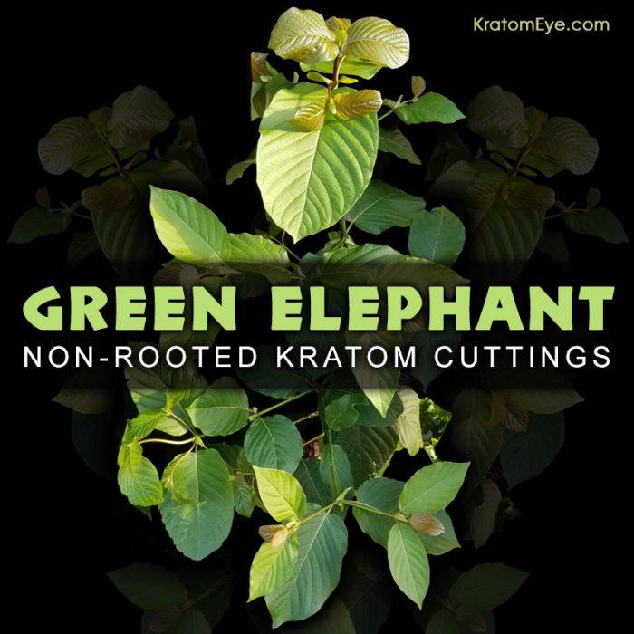 Green Elephant, Borneo Strain - Live Kratom Cuttings