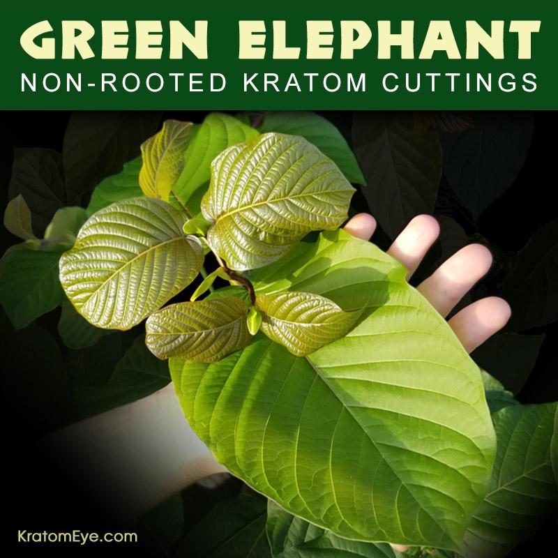 Live Kratom Cuttings - Green Elephant, Borneo Strain