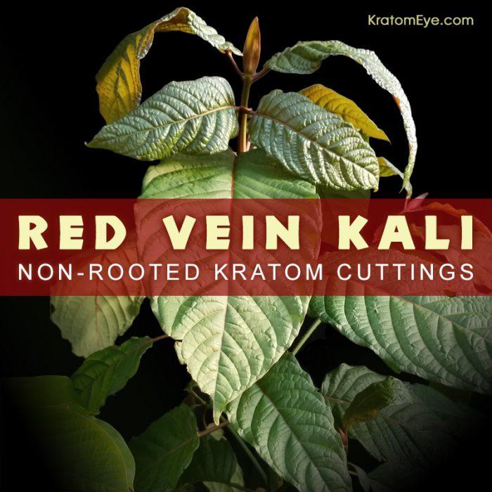 Red Vein Kali, Kalimantan Strain - Live Kratom Cuttings