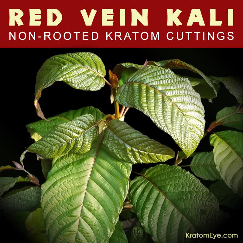 Live Kratom Cuttings - Red Vein Kali, Kalimantan Strain