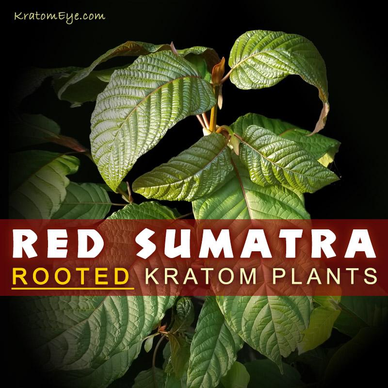 Red Vein Sumatra Strain - Live Kratom Cuttings