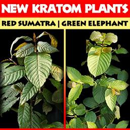 New Rooted Kratom Plants Red Sumatra & Green Elephant